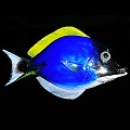 Blue Tang Tropical Reef Glass Fish Sculpture Wall Sculpture